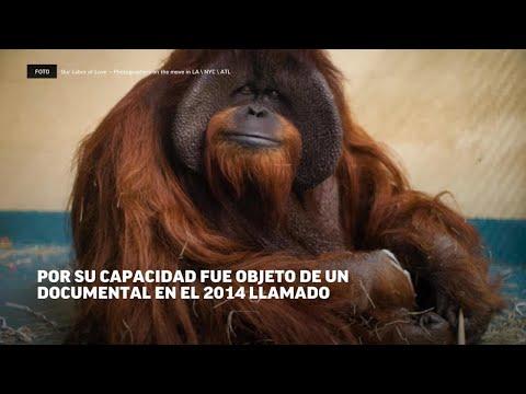 Fue el primer simio en comunicarse con el lenguaje de señas