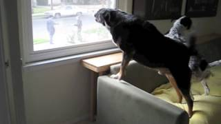 Dogs Barking At Mailman