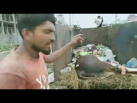 পশুর হাটে গরু মারা গেলে ফেলা হচ্ছে রাস্তার ডাস্টবিনে, বিপাকে ময়লা শ্রমিকরা