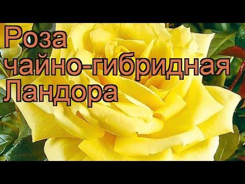 Роза чайно-гибридная Ландора (rose Landora Landora) 🌿 обзор: как сажать, саженцы розы Ландора