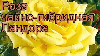 Роза чайно-гибридная Ландора (rose landora landora) ???? обзор: как сажать, саженцы розы Ландора
