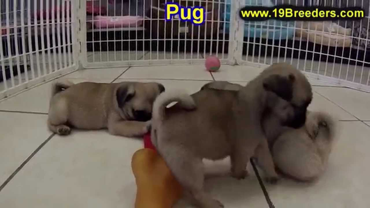 pug puppies for sale in alabama pug puppies dogs for sale in new york new york ny 1776