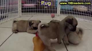 Pug, Puppies, For, Sale, In, Birmingham, Alabama, Al, Montgomery, Tuscaloosa, Jefferson, Shelby, Bal