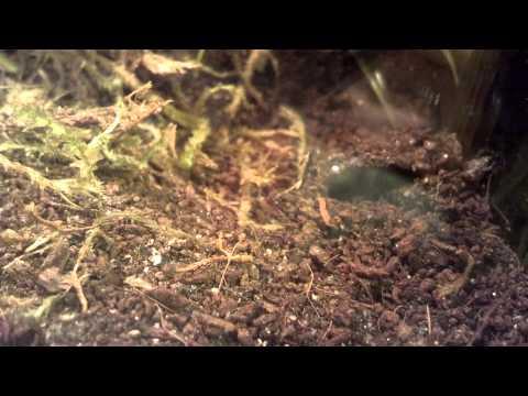 African Red Trapdoor Spider eats cricket.