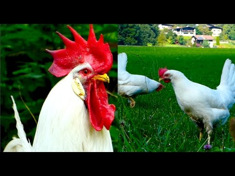 CHICKEN BREEDS E7: White Leghorn hens and rooster, egg layer