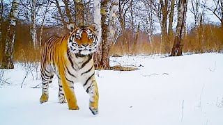 Best Snow Animals   Top 5   BBC Earth