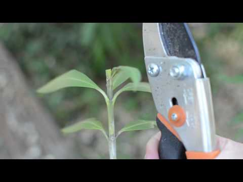 How to Root Oleander from Cuttings