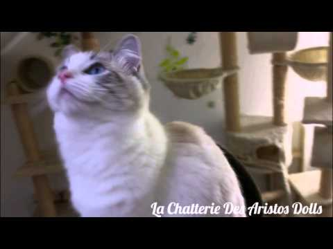 RAGDOLL  The Family Kittens Dolls  La Chatterie Des Aristos Dolls