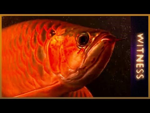 Swimming with dragons | Multi-Million Dollar Fish Farm | Witness