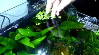 Aquatic DIY. Simple but effective way to keep floating aquarium plants