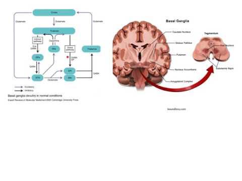 Basics of the basal ganglia
