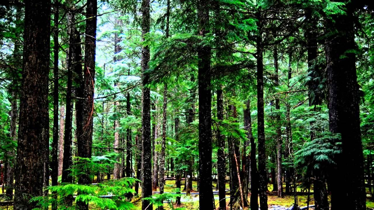 Звуки хвойного леса скачать