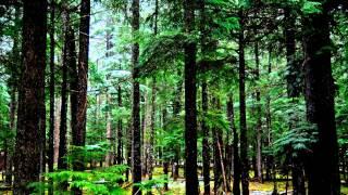видео Сосновый лес
