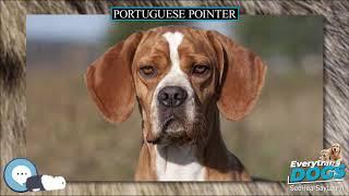 Portuguese Pointer  Everything Dog Breeds