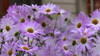 Gambar cover Video and photographs of the Frick Collection Garden's Korean Mums by Corrado Serra - 1080p