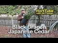 How to grow Black Dragon Japanese Cedar - Cryptomeria japonica
