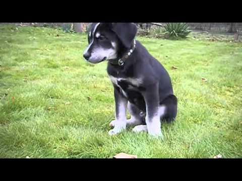 Husky Cross Labrador Puppy Youtube