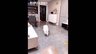 Meet Zhu Xiaobao, a 2-year-old #bichon, who creates and LOVES this game with rubber band.