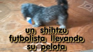 Shihtzu Playing And Taking Your Ball / Shihtzu  Futbolista  Jugando Con Pelota / Shihtzu Dog