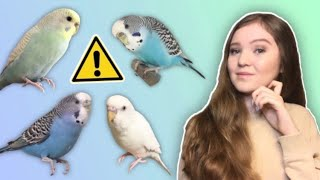 What You Need to Know Before Getting a Budgie! *THE TRUTH About Budgies as Pets*