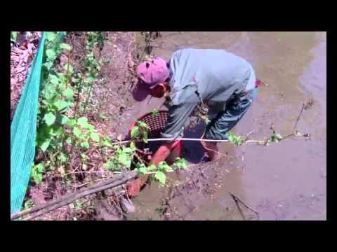 bắt cá rô đồng