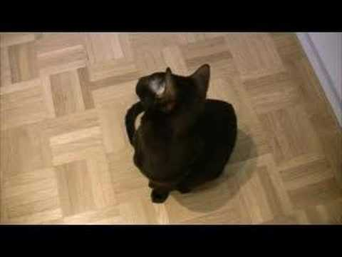 Talking - Oriental Siamese Cats