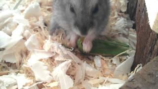 Riesen Heuschrecke vs. Hamster