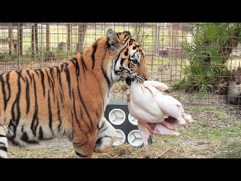 How a Tiger Prepares a Turkey (with Keisha & Zeus)