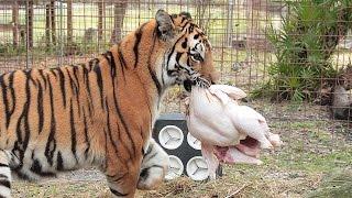 How a Tiger Prepares a Turkey (with Keisha & Zeus)