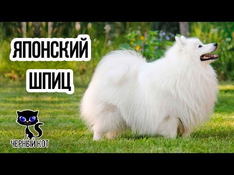✔ Японский шпиц - шумный, игривый, неугомонный пёс