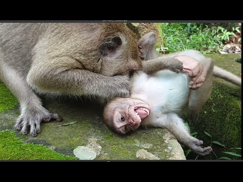 Why Why Mommy Popeye beat her favorite son like this? Mother attack her baby monkey, SP cries loudly