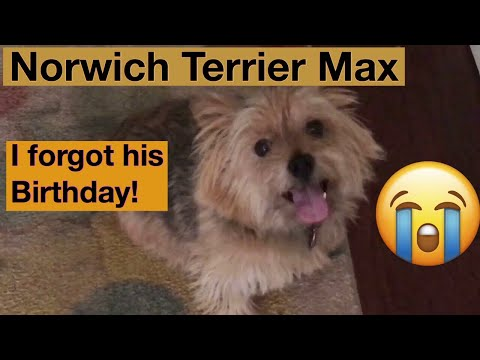 Norwich Terrier Max - I Forgot his Birthday!