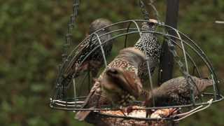Bird Feeder Showing Starlings Also Magpie And Robin Youtube