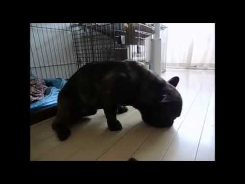 cute-animals-falling-asleep-the-pug-dog-which-dozes-off-funny-animal