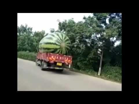 Lorry Loads Giant Watermelon -  Watermelon World's Largest - Euronews
