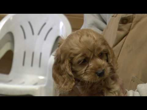 Cockapoo Puppies for Sale from dyerfarms.com - Part 1
