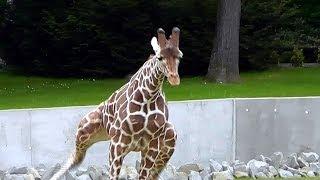 Zoo Kraków Żyrafy wolny wybieg - Giraffe free run