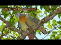 Suara Burung Punai Atou Walik  Mp3 - Mp4 Download
