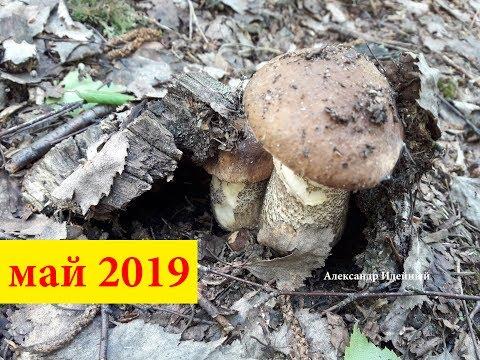 Где и когда собирать грибы весной подберезовики бабки в Украине под Киевом май 2019