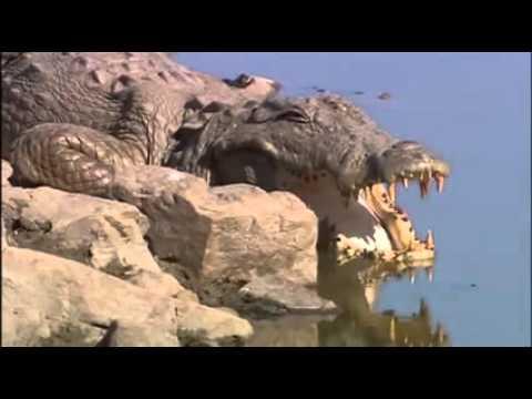 Tigress Machli Kills 14 foot long Crocodile !