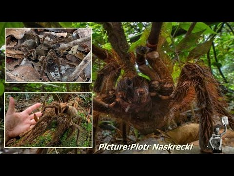 Piotr Naskrecki encounters World's Largest Spider in Guyana
