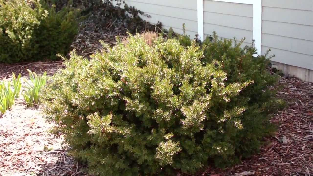 Pruning Evergreen Shrubs To Maintain