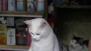 Китайский кот с разными глазами