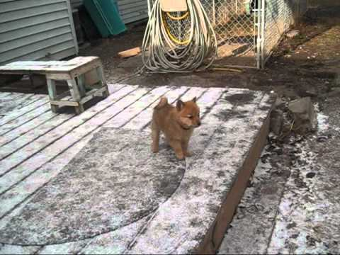 Finnish Spitz Puppies