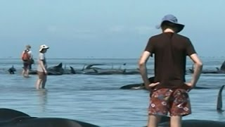 Nearly 200 Whales Stranded New Zealand Beach