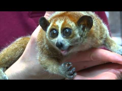 RAINFOREST PYRAMID® UPDATE: Pygmy Slow Loris