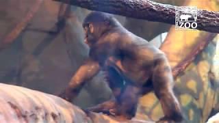 2 Year Old Gorilla Elle Adapting to New Group - Cincinnati Zoo