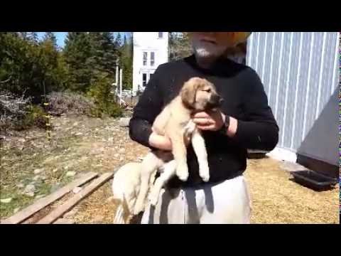 Puppies For Sale, Livestock Guardian Dogs, LGD