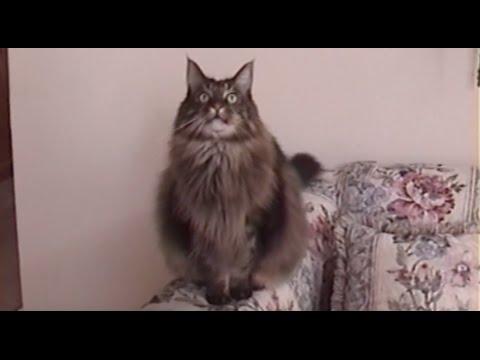 BIG Maine Coon Cat CHIRPS