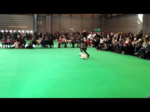 Crufts 2016 West Highland White Terrier bitch open class